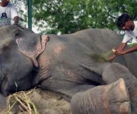 raju_elefante