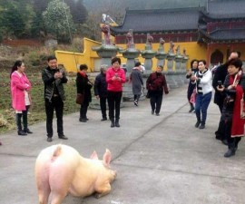 Pig-escapes-farm-goes-to-Buddhist-temple-appears-to-lie-down-and-pray4