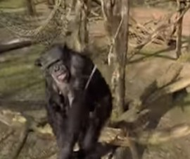 chimpance_dron