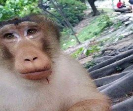2BBC790C00000578-3213994-Vile_joke_A_macaque_monkey_lost_a_finger_after_tourists_played_a-a-72_1440771053349