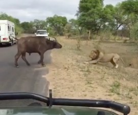 leon bufalo