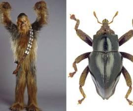 escarabajo-chewbacca-2