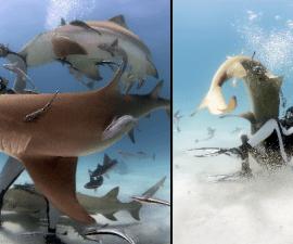 encantador-tiburones-1