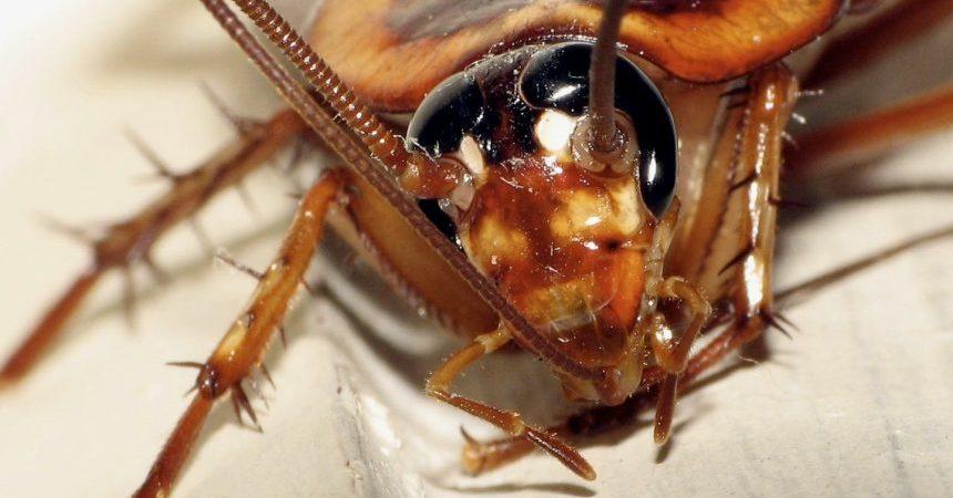 cucaracha-cabeza