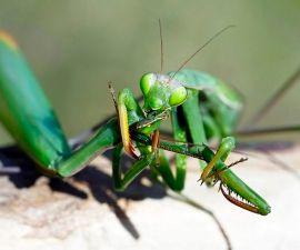 mantis-comida-1