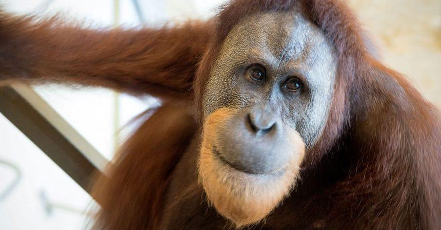 orangutan-voz-humana