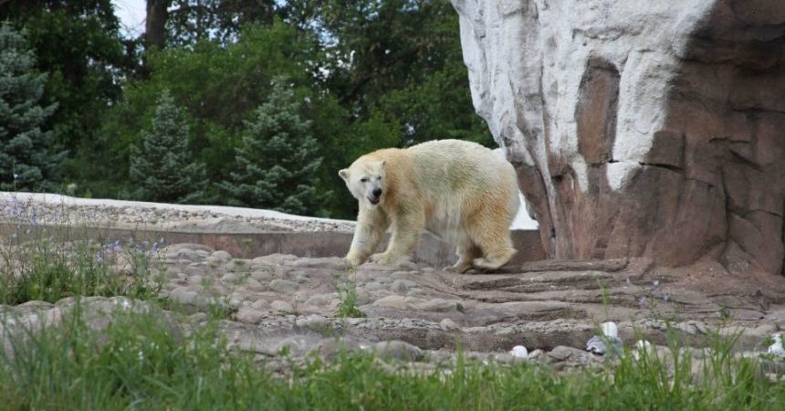 oso-polar-zoologico