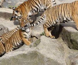 tigre-grandes-felinos-animales-extincion-5