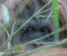 orangutan-simio