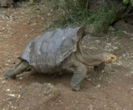 galapagos-tortuga-la-espanola1