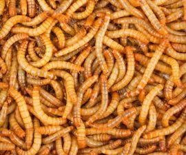 Gusanos - Harina - Alimento