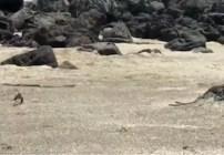 iguana-corre-serpientes