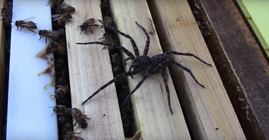 Araña vs abejas