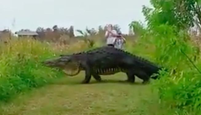caiman gigante florida