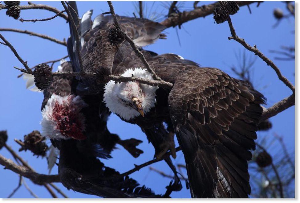Jfk Quote Wallpaper Symbolism Battling Bald Eagles Crash Down Onto Tree In
