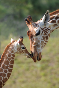 giraffe-baby-for-web
