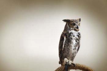 Owl-at-Friendly-Creatures-of-the-Night