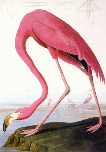 Flamingo_rsz