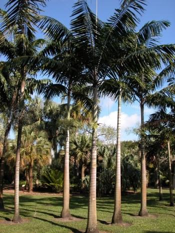 Veitchia-palm-Copy
