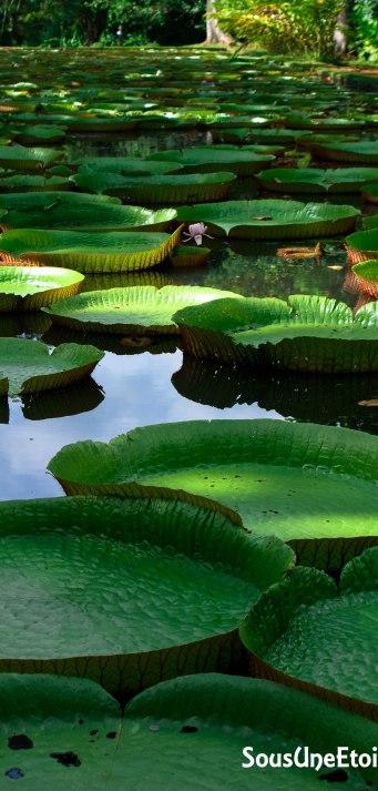 nenuphars jardins pamplemousse maurice