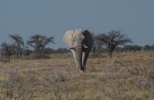 A40 Etosha Elephant