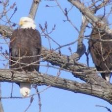 Bald Eagle, photo credit Peter Picone