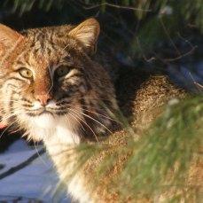 Bobcat, photo credit Peter Picone
