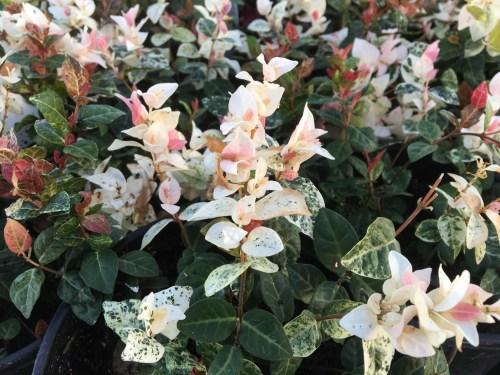 Medium Of Snow In Summer Plant