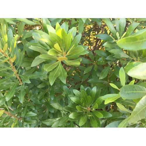 Medium Crop Of Bay Laurel Nursery
