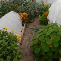 First Summer in the Polytunnel