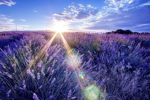 summer-lavender-essence1