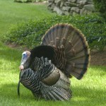 A Thankful Turkey