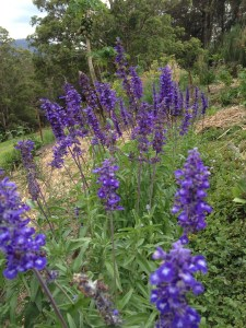 Blue bedding Salvia, one of the two common Salvias, makes a bright and long-lasting show