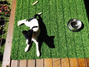 Willow pup on turf