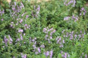 thyme wild flowers