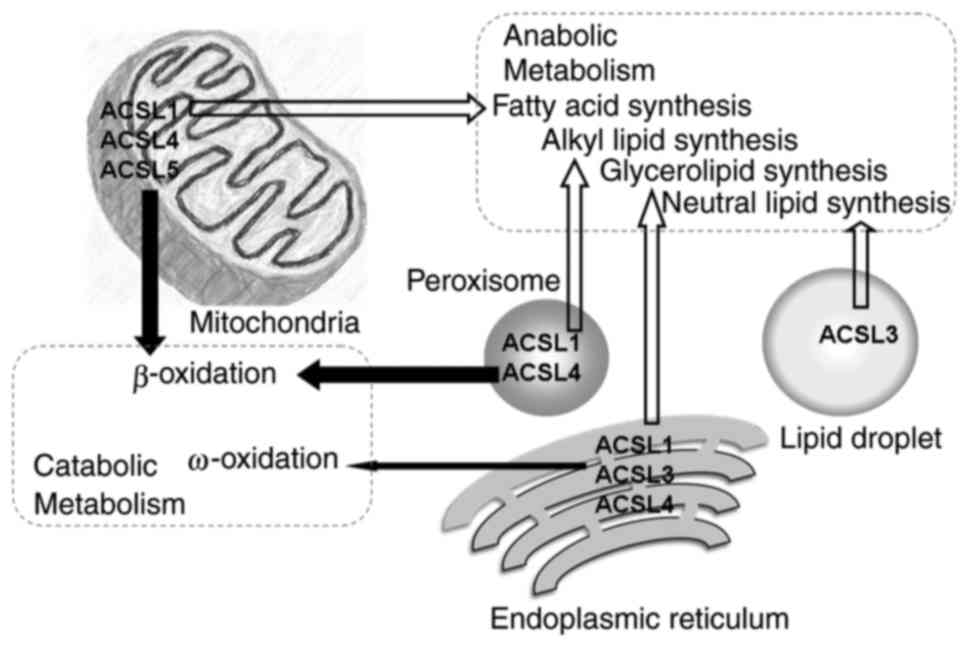 Fatty acid activation in carcinogenesis and cancer development