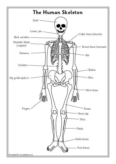 human skeleton diagram to label