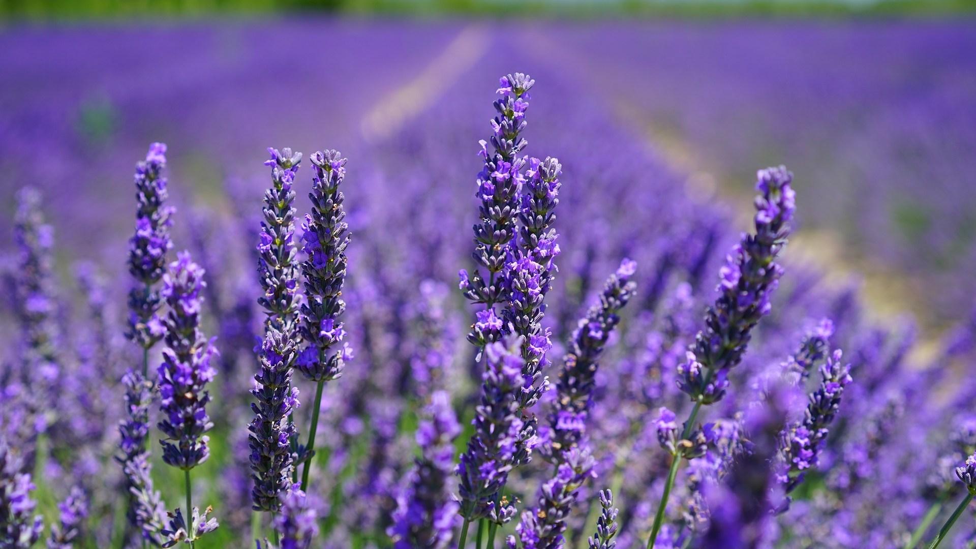 lavender-blossom-1595584_1920