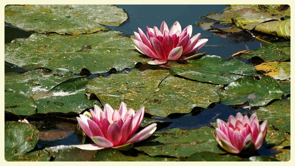 Water lilies, Monet's house, Giverny & impressionist art projects for kids. Special Learning House. www.speciallearninghouse.com.jpg