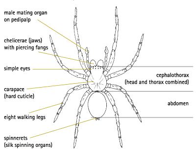 spider chelicerae diagram
