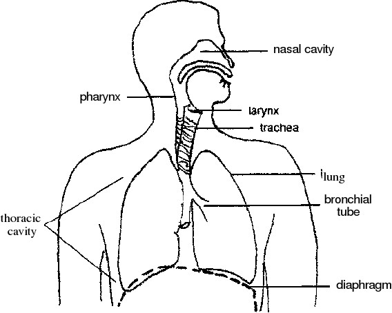 diagram of the vocal mechanism