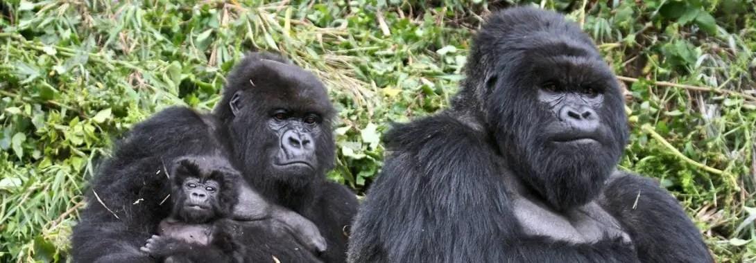 Gorilla Symbolism, Gorilla Meaning, Gorilla Totem, Gorilla Dream