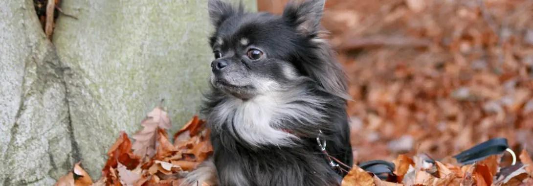 Chihuahua Symbolism, Chihuahua Meaning, Chihuahua Totem, Chihuahua Dream