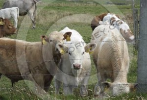 Orkney beef cattle