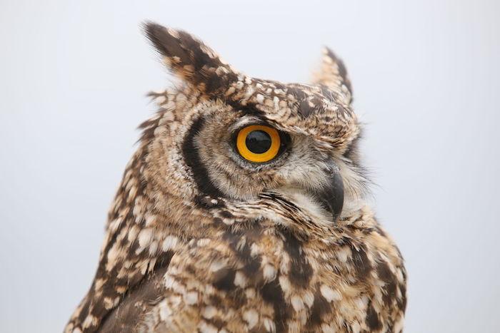 Animal Face Wallpaper Owl Spirit Animal Owl Totem Meaning