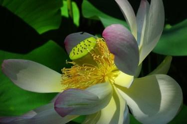 lotus side