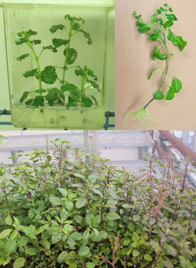 Plant Tissue Culture SB