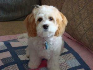 Image For Beabull Beagle And Bulldog Mix Spockthedog Com
