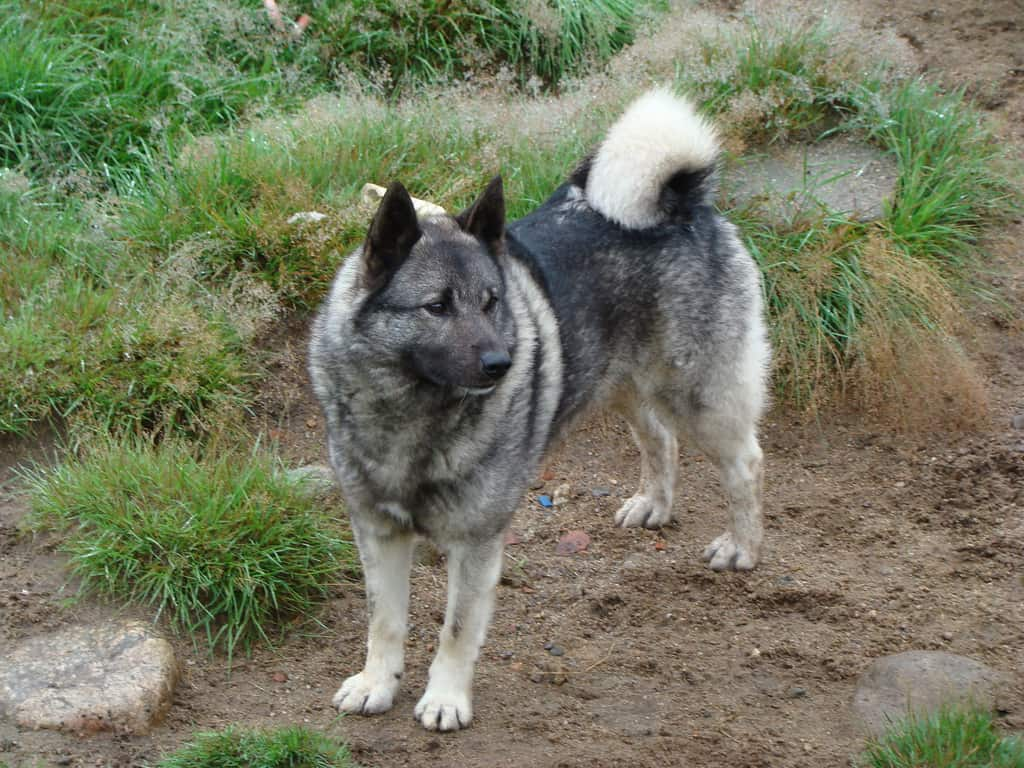 Husky Dog Hd Wallpapers Norwegian Elkhound Spockthedog Com