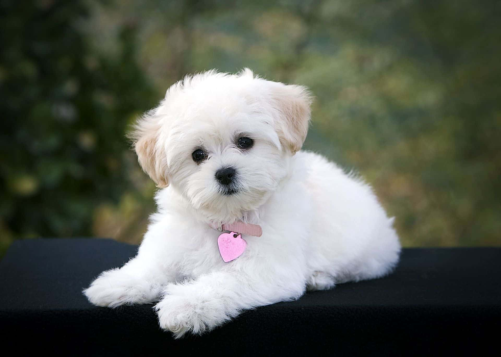 Image For Bichon Frise Chihuahua Mix Pictures